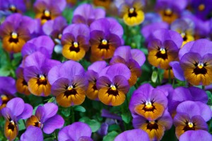 pansies with faces